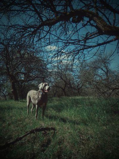 Weimaraner Animal Themes Tree Domestic Animals One Animal Nature Outdoors Landscape EyeEm Best Edits VSCO EyeEm Best Shots Beauty In Nature Scenics Green Color Animals