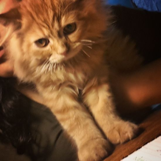 Lovely Creature Ginger Cat Cute Cats My Pet