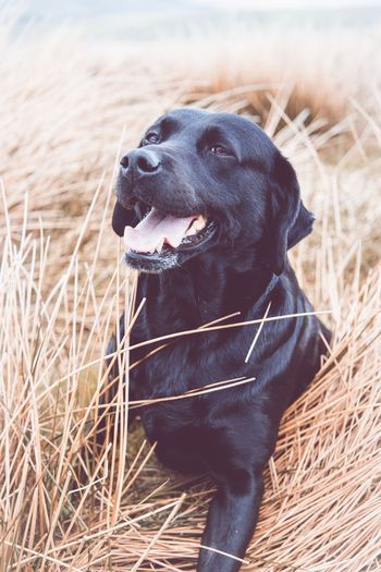 Black Labrador EyeEm Selects One Animal Domestic Animal Themes Domestic Animals Pets Canine Dog Animal Mammal Vertebrate Plant Grass Looking Land Looking Away Nature Black Color Day Field No People