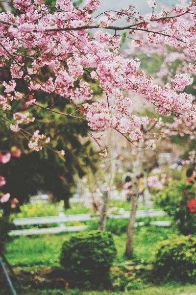 Flower Nature Growth Freshness Fragility Beauty In Nature Tree Springtime Pink Color No People Outdoors Day Blossom Close-up Branch Flower Head 恩愛農場 臺灣 Nature Taiwan