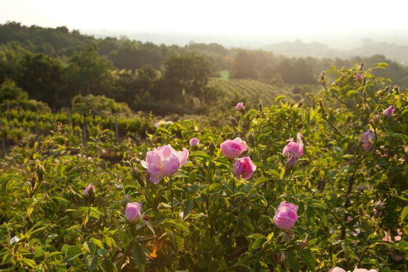 Vineyard Nature Flowers Blossom Landscape Slovakia Svaty Jur Morning Sunrise