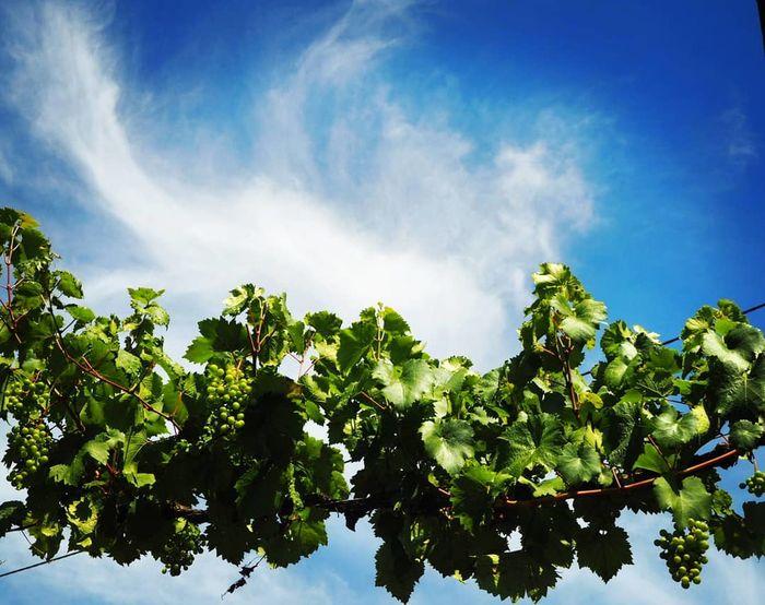 Grapes Wine Fruit Leaf Blue Plant Part Branch Sunlight