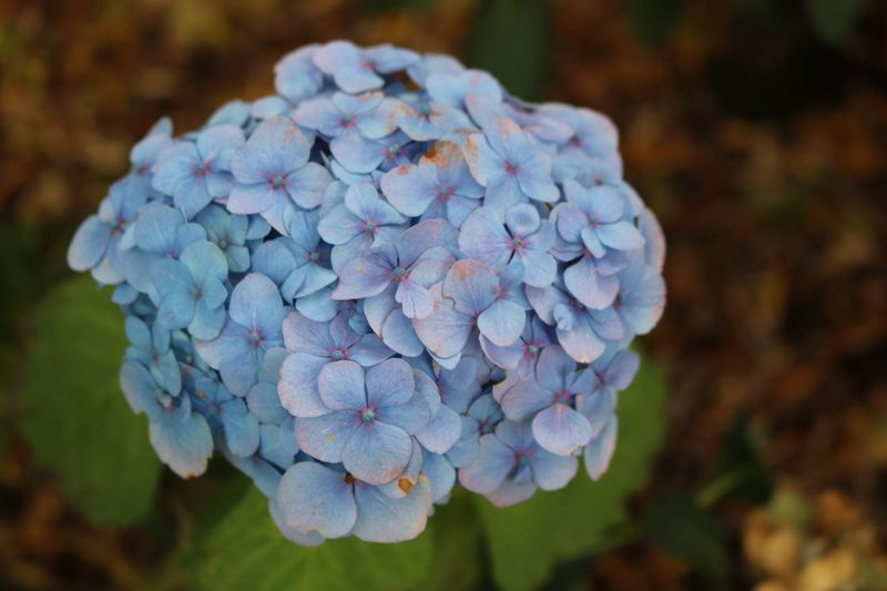 Close-up of blue hydrangea flowers in park