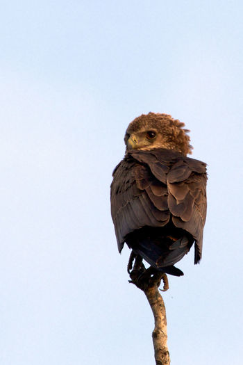 Immature bateleur Kruger Park South Africa Tree Africa Animal Wildlife Animals In The Wild Bataleur Bird Bird Of Prey Branch Clear Sky Day Immature  Nature No People One Animal Outdoors Perching Sky