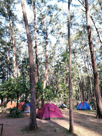 One of the best part of camp is listening to the sounds of trees where you've got no idea what's going on in the city. Ending this summer with my smartphone not to communicate to someone but to take some photos that will make some memories that no one knows about. Every summer has its own story. Province Of Philippines Beauty In Nature Outdoors Tent Pine Trees Relaxing Moments Peace And Quiet Far From Civilization Far From City Life Camping Site Live For The Story The Great Outdoors - 2017 EyeEm Awards Place Of Heart Sommergefühle Breathing Space The Week On EyeEm Connected By Travel Perspectives On Nature Go Higher