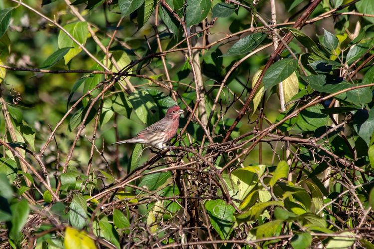 House Finch Canon EOS 60D Animals In The Wild Animal Wildlife Animal Themes Animal One Animal Vertebrate Plant