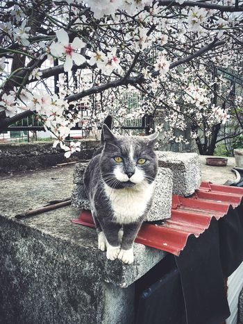 Oscar the Grey Cat under the White Blossoms of an Almond Tree . Almond Tree In Blossom February Pet Photography  IPhoneography Looking At Camera Amusing Moments Urban Lifestyle Open Edit On The Edge On The Corner