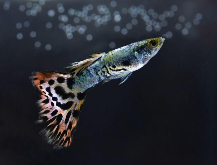Beautiful macro with small fish in the water. Fish Guppy Guppy Fish Macro Black Background Close-up Aquarium