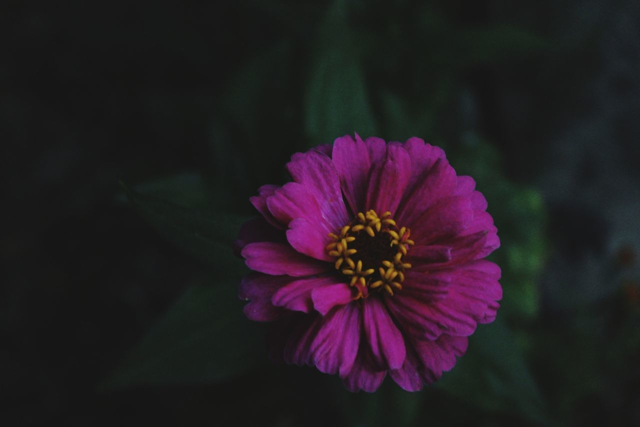 flowering plant, flower, vulnerability, fragility, petal, beauty in nature, freshness, flower head, inflorescence, plant, close-up, pollen, growth, nature, no people, focus on foreground, outdoors, pink color, botany, purple