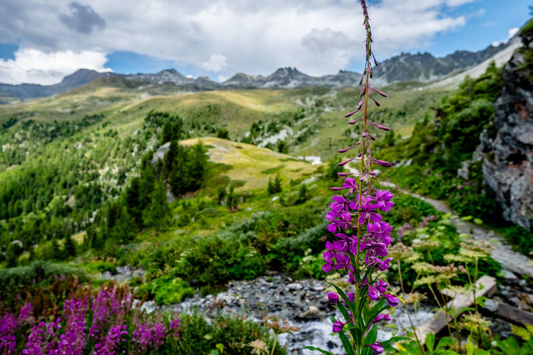 Purple flowering plants by mountains against sky