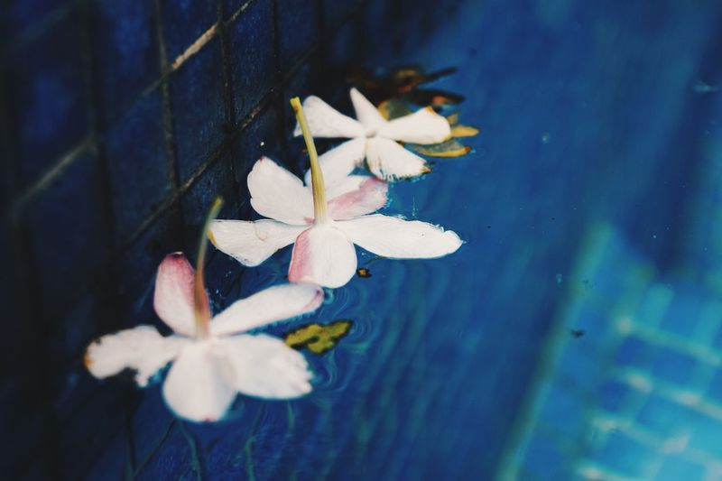 Flower Fragility Petal Freshness Beauty In Nature Growth Flower Head Leaf Day High Angle View No People Nature Close-up Outdoors Springtime Periwinkle Blooming Water Branch Frangipani The Great Outdoors - 2017 EyeEm Awards Live For The Story The Still Life Photographer - 2018 EyeEm Awards