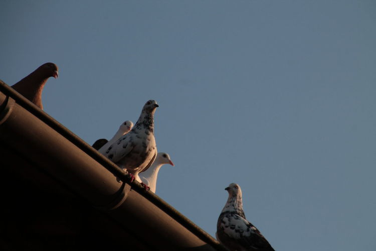 Low angle view of birds perching on roof against clear sky