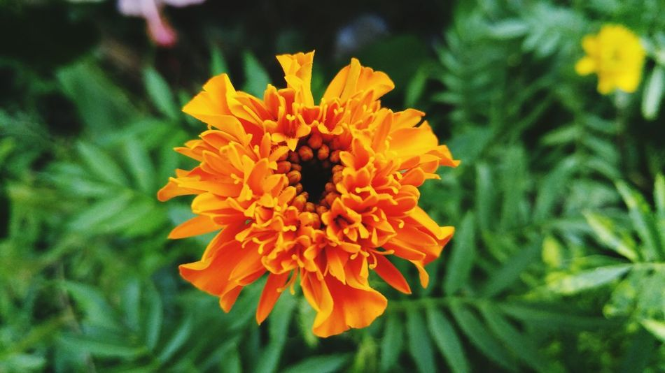 Flower Head Flower Petal Marigold Multi Colored Close-up Plant Zinnia  Botanical Garden Plant Part Flowering Plant Tropical Flower Reykjavik Plant Life Botany Crocus Pollen