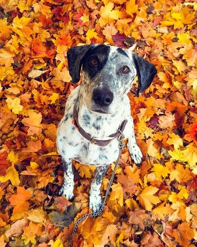 High angle portrait of dog standing on autumn leaves