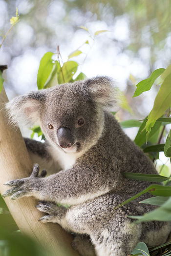 Koala in tree against sky
