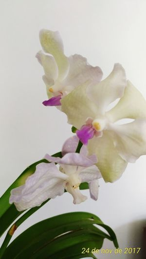 Orquideas❤ Vanda Flower Petal Fragility Plant Nature Growth Flower Head Close-up Indoors  Leaf Vase No People Beauty In Nature Freshness Orchid Day