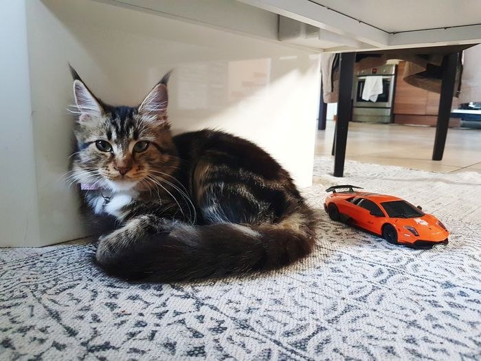 Looking At Camera Domestic Cat Indoors  Pets Domestic Animals Looking At Me? Cat♡ Cats Of EyeEm Cat And Toys Car Toy Under The Table Quiet Place  Cat Watching