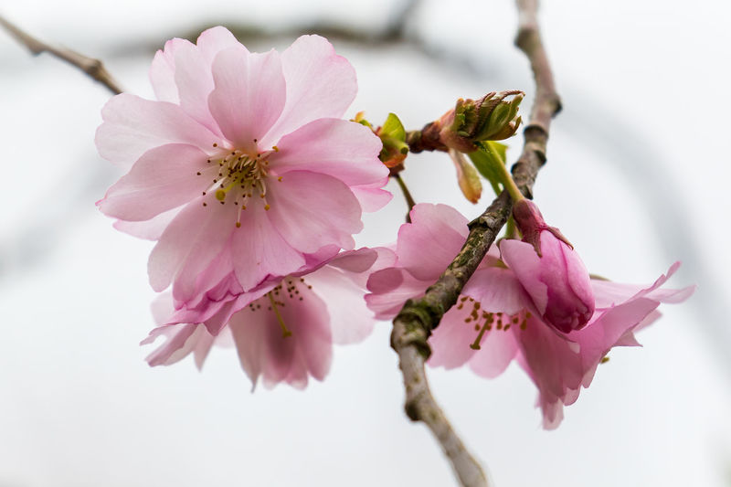 Cherry blossom in Spring Pink Beauty In Nature Blossom Cherry Blossom Close-up Flower Flowering Plant Fragility Freshness Growth No People Outdoors Petal Pink Color Pink Flower Plant Springtime Tree