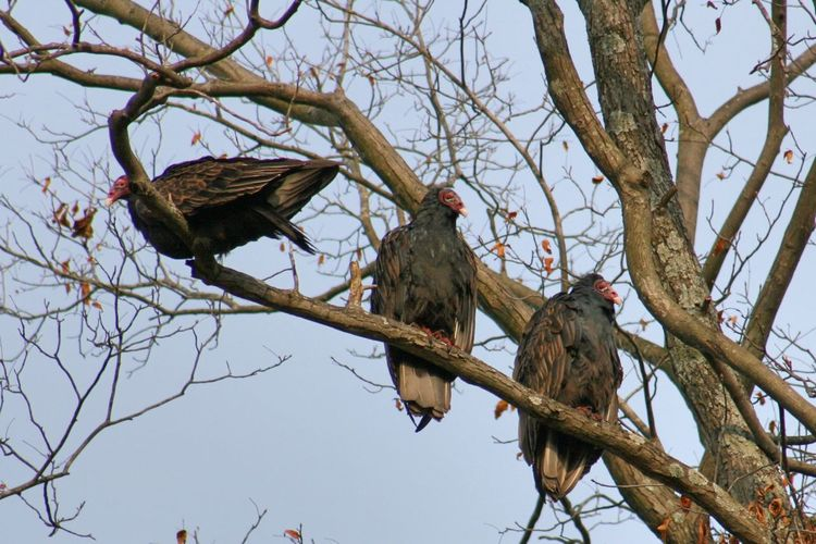 Turkey Vultures Branch Animal Animal Themes Animals In The Wild Bird Tree Animal Wildlife Group Of Animals Turkey Vulture Raptor Low Angle View Perching Bare Tree Nature Day Outdoors Clear Sky No People Birds