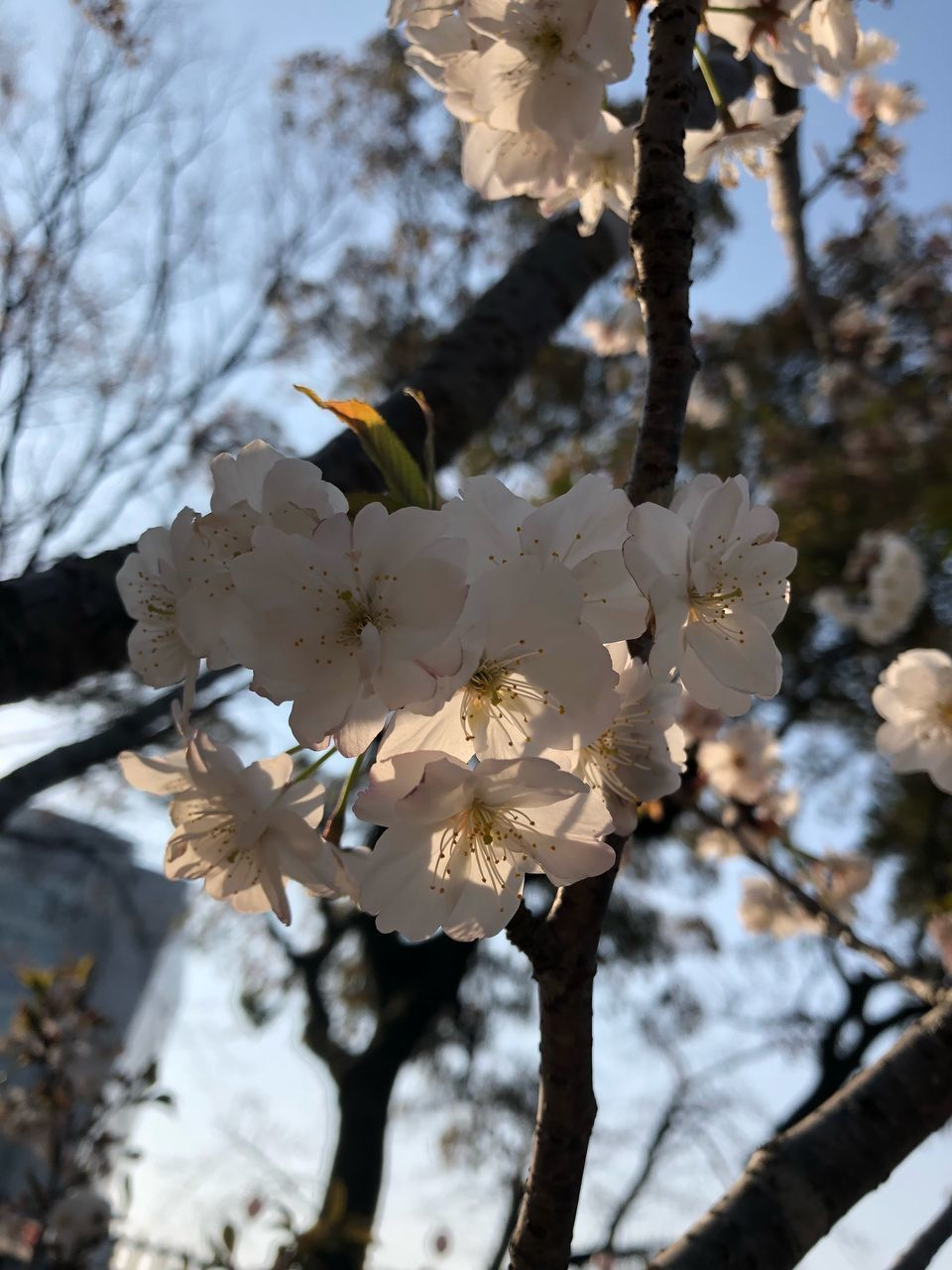 plant, flowering plant, flower, fragility, tree, vulnerability, blossom, freshness, growth, beauty in nature, focus on foreground, branch, springtime, white color, close-up, day, twig, petal, cherry blossom, nature, flower head, no people, pollen, cherry tree, outdoors, spring