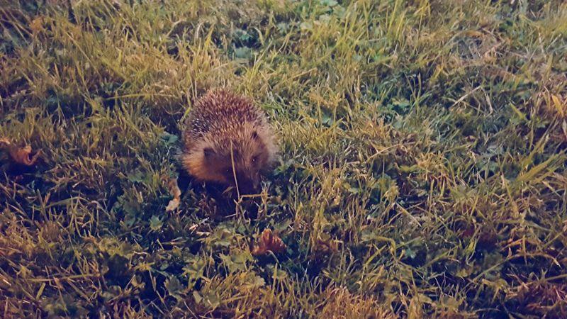 Baby Hedgehog Night Walk Narure Needed To Take Home