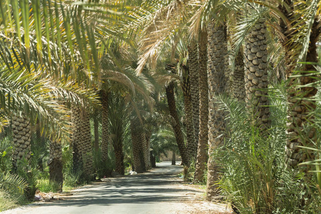 road through a grove of date palm trees Beauty In Nature Date Palm Tree Date Palms Day Fronds Grove Leaves Nature No People Outdoors Palm Tree Road Scenics Sultanate Of Oman Tree