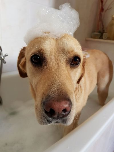 Dog Pets Looking At Camera Portrait Mammal No People Indoors  Domestic Animals Close-up Animal Themes Day Bath Clean Foam Foamparty Bath Time Dog Portrait Pet Portraits Bathroom Home Dirty Water Labrador Labrador Retriever The Week On EyeEm Be. Ready.