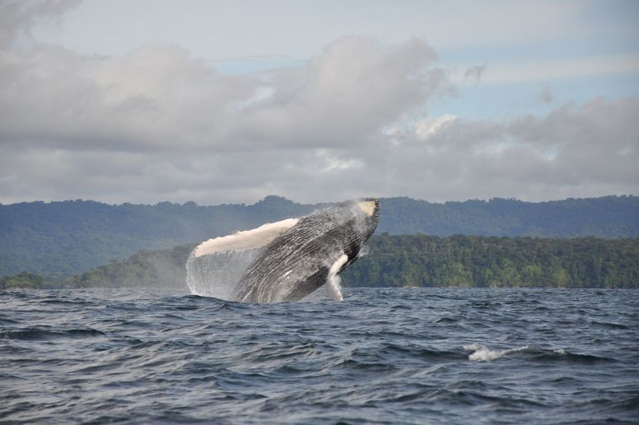 Colombia Nuquí Animal Themes Animal Wildlife Animals Animals In The Wild Aquatic Mammal Beauty In Nature Betterlandscapes Cloud - Sky Humpback Whale Jumping Mammal Motion Nature One Animal Outdoors Sea Sea Life South America Water Waterfront Whale Whale Watching
