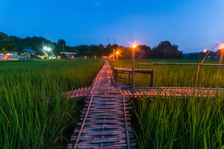 Bamboo Bridge in Paddy Field, Chiang Rai, Thailand. Bamboo Bridge Bamboo Bridge In Paddy Field, Chiang Rai, Thailand. Blue Boardwalk Calm Clear Sky Dusk Footbridge Footpath Grass Green Green Color Growth Illuminated Landscape Long Narrow Night Paddy Field Plant Railing Scenics The Way Forward Tranquil Scene Tranquility