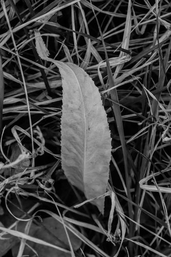 Macroscape - Leaves of Grass City Park Colorado Grass Autumn B&w B&w Street Photography Black And White Change Close-up Colorado Springs Day Dry Fall 2017 Fragility High Angle View Leaf Leaf On Grass Leaves Maple Nature No People Outdoors