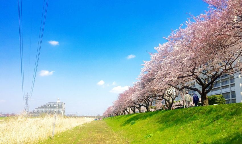 桜 Tree Sky Day Flower Cherry Blossoms Cherry Blossom 170403
