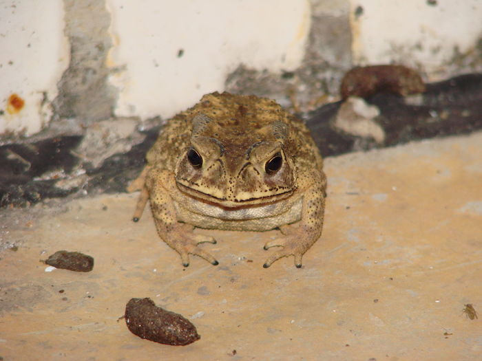 To eat or not to eat. Toad looking at rat droppings. Kröte Rattenköttel Toad Animals In The Wild Close-up Wildlife