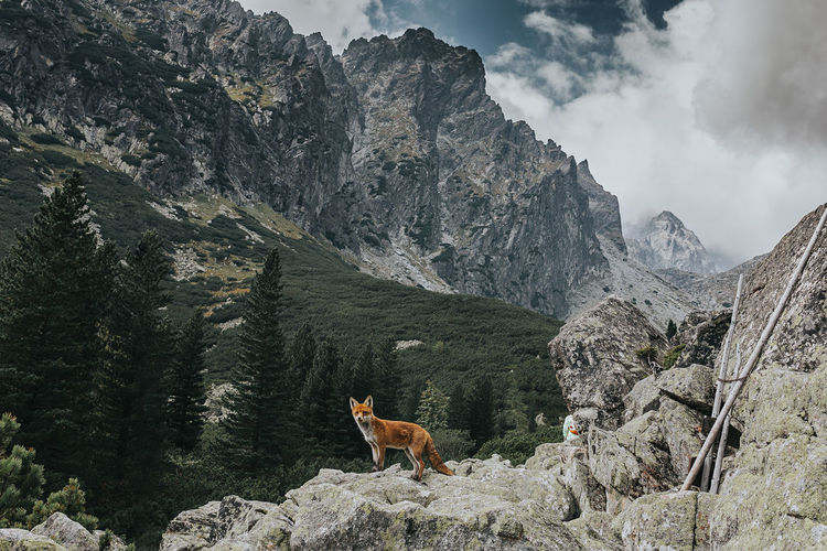 My Best Photo Mountain Mammal Animal Themes One Animal Animal Mountain Range Beauty In Nature Scenics - Nature Rock Solid Canine Day Formation No People Mountain Peak Fox