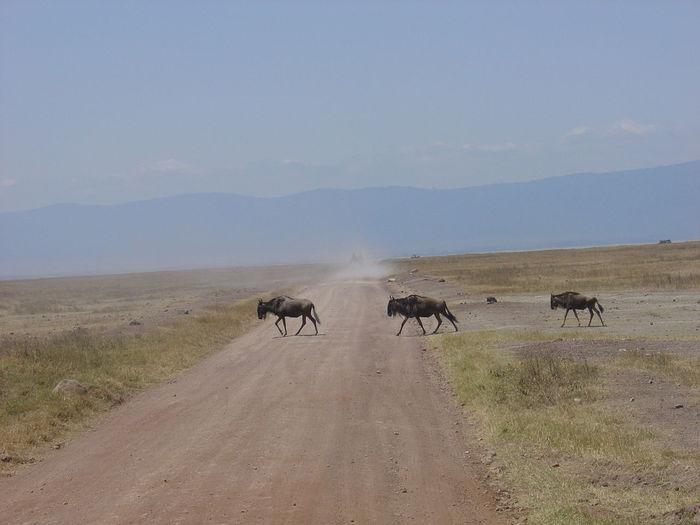 Wildebeests crossing a dirt road