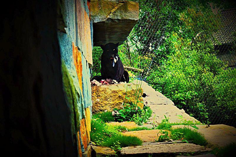 Black Jaguar Artis  Animal Themes One Animal Sunlight Day Nature Outdoors No People Mammal Black JAGUAR Zoo Animals  Big Cat First Eyeem Photo