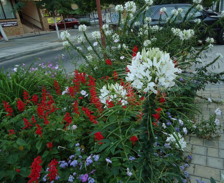 White & Red Flowers Fleurs Summer Été сальвия August лето цветы