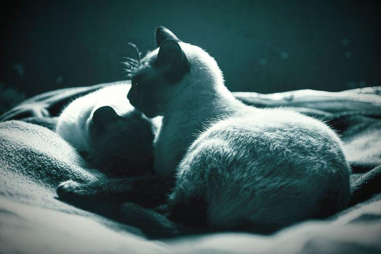 The birman cats resting indoors