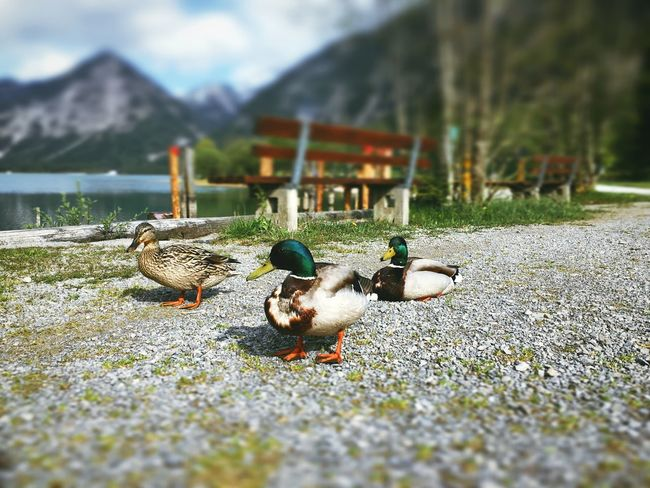 Happy Ducks. Beauty In Nature Duck Landscape Mountain Nature No People Outdoors Selective Focus Surface Level The Great Outdoors - 2016 EyeEm Awards