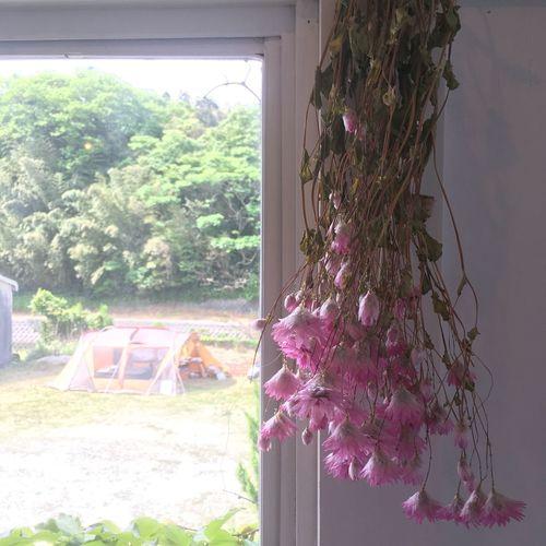 Dryflower Pink Tent Window Flame Hanatolife Itoshima Fukuoka Japan Pink Color Fukuoka,Japan Fukuoka