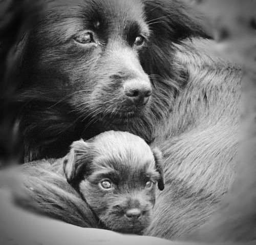 Dog Mammal Animal Themes Cute Pets Domestic Animals Maternity Black Blackandwhite Animal Family Puppy Looking At Camera Animal Eye Only One No People Portrait Indoors  Day Total Black EyeEmNewHere Welcome To Black Pet Portraits