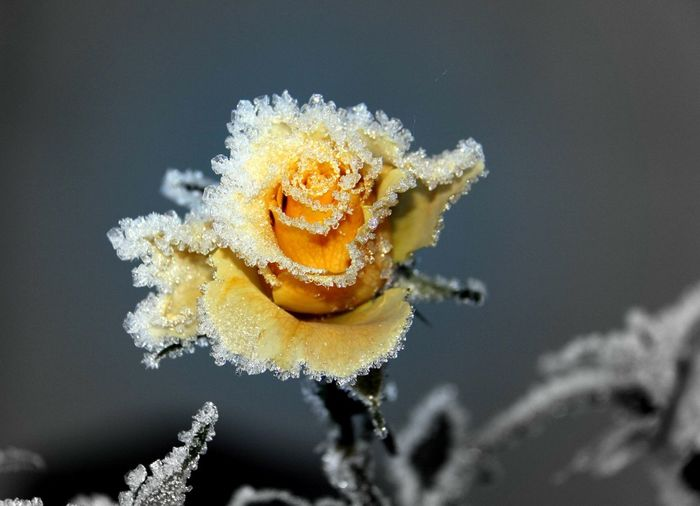 Close-up of frosted rose