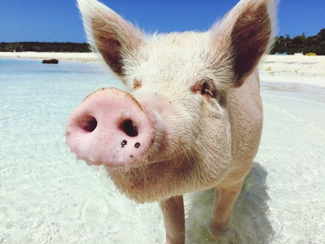 Beach Animal Themes Pig Pet Portraits