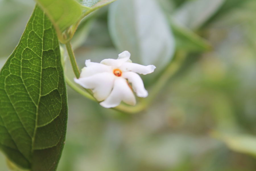 Autumn in Bengal... Leaf Plant Part Plant Growth Vulnerability  Fragility Close-up Beauty In Nature Flower Flowering Plant Green Color Freshness White Color Petal Focus On Foreground Nature No People Inflorescence Flower Head Day Outdoors Autumn Mood