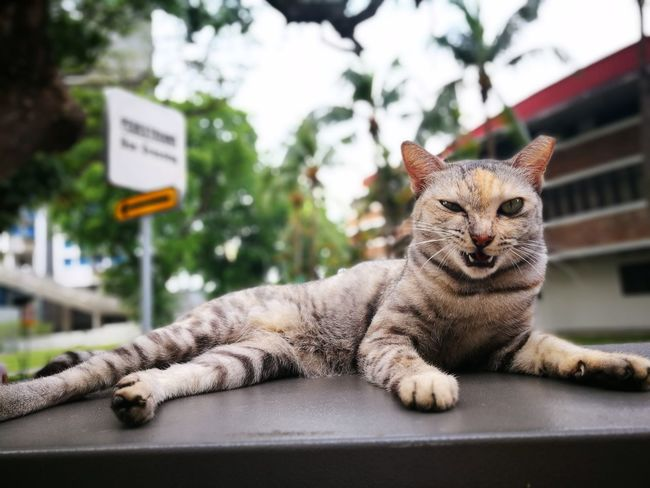 Meow! Animal Cat Tiong Bahru Lying Down Feline No People Day Outdoors Nature Animal Themes Portrait Pets Mammal Close-up