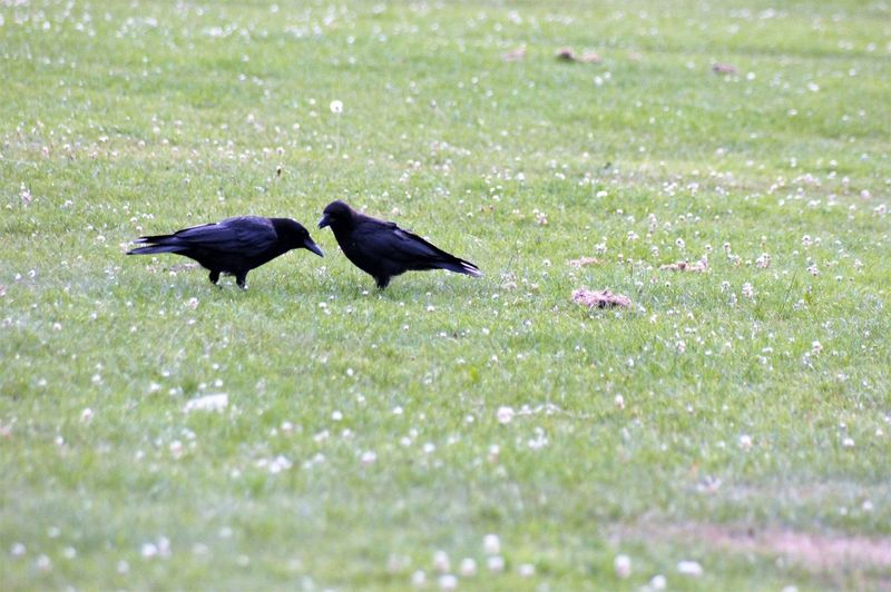 Two black birds in a field of grass. Animal Themes Animal Two Animals Bird Black Color Group Of Animals Animal Wildlife Vertebrate Animal Body Part Animal Head  Beak Animal Eye Beak Open Wings Animal Leg Feathers Close-up Togetherness Sunlight Shadow Silhouette Field Plant Grass Green Color No People Day Outdoors Land Nature Beauty In Nature Scenics Nature Environment Weather Surface Level Selective Focus Side View Backgrounds Wild Flowers Flowering Plant