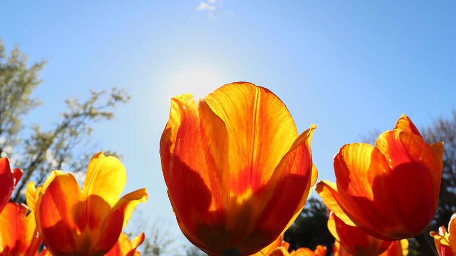 Tulip soaking in the sun. Nature Summer Plant Sky Outdoors Multi Colored No People Sunlight Day Flower Beauty In Nature Close-up Flower Head Freshness Tulips🌷 Tulips Flowers Plant Tulip