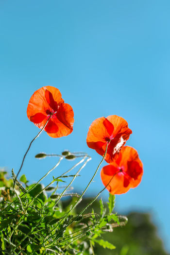 Poppy flowers field nature spring background. Blooming Poppies over blue sky on wind. Rural landscape with red wildflowers. Red Sky Beautiful Clear Poppies  Poppy Blue Flower Nature Spring Outdoor Petal Plant Summer Meadow Green Wild Season  Sunny Rural Beauty Blossom Leaf Landscape Bloom Garden Natural Floral Grass Grow Herbal Flora Ponceau Flower Scene Bright Wheat Scenic Blooming Plain Fresh Flowers Light Idyllic Botanical Summertime Sunshine Colorful Vibrant Papaver Agriculture