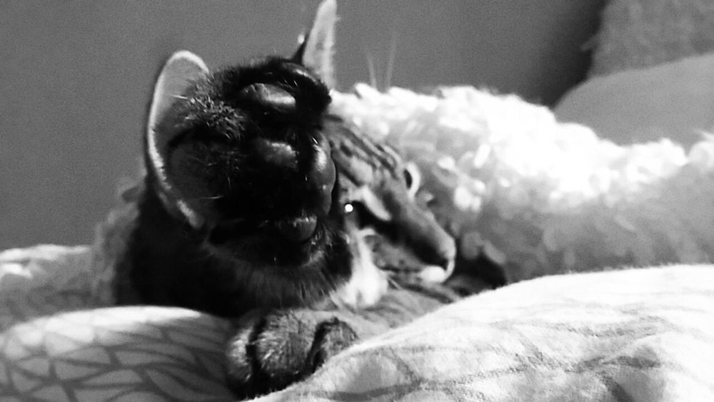 Cat Paw Peace Beauty Beast Tiger Distant Sleep Animals Captured Black And White Pet Portraits