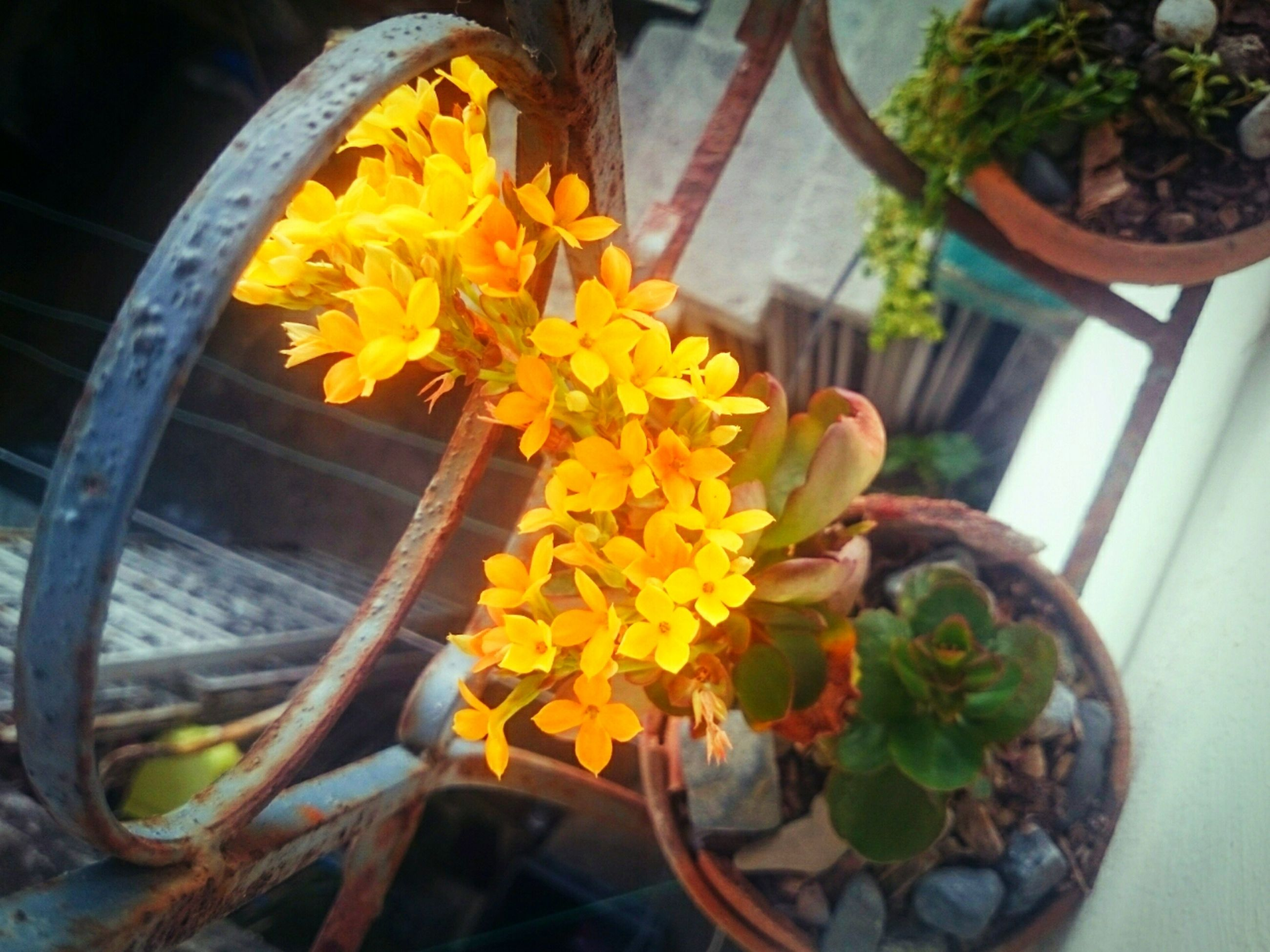 flower, freshness, yellow, petal, fragility, high angle view, flower head, plant, potted plant, beauty in nature, growth, leaf, close-up, nature, blooming, orange color, no people, day, outdoors, in bloom