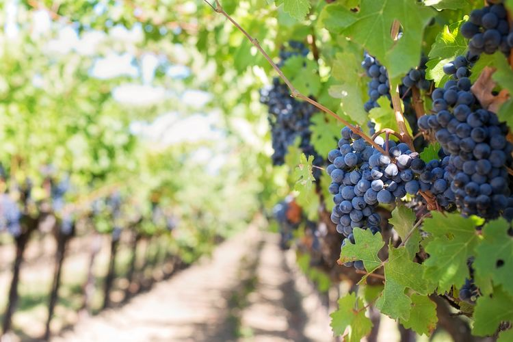 Agriculture Bunch Crop  Day Farm Food Food And Drink Freshness Fruit Grape Growth Healthy Eating Leaf Nature No People Outdoors Plant Plant Part Plantation Red Grape Ripe Vine Vineyard Winemaking